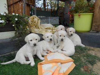,Predám šteniatka labradora
