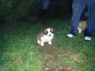 ,Bernardín - šteniatka