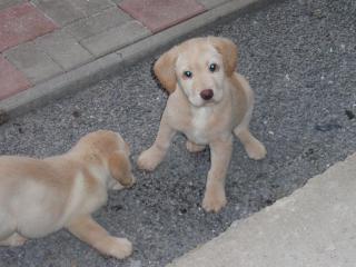 ,Labrador - posledná fenka