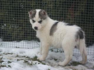 ,sibirsky husky/hasky