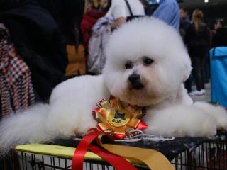 ,Bišonik- Bichon frisé šteniatka