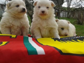 ,Predáme šteniatka bieleho Nemeckého Špica