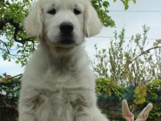 ,Predám krásne šteniatka - psíkov Zlatého retrievera s PP