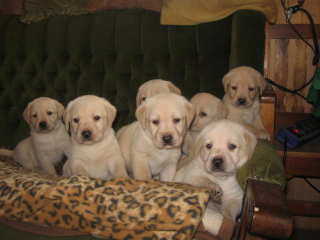 ,Labrador retriever šteniatka s P.P.
