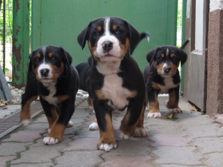 ,Šteniatka veľkého švajčiarskeho salašníckeho psa