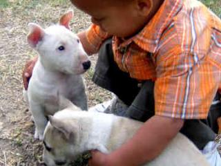 ,Prodám Krásná Mini Bull Teriér štenata
