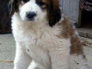 ,Moskovský strážny pes
