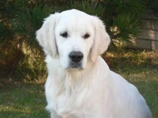 ,Darujeme psíka zlatý retriever