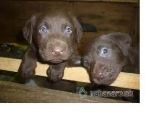 ,Labrador čistokrvný čokoládový a čierny