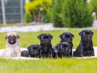 ,Plemeno: Mops šteňatá čierna a béžová