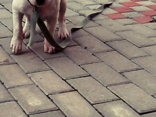 ,Predam Fenku Staforda šteňa