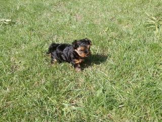 ,Predám šteniatko Yorkshirskeho teriera (Mini)