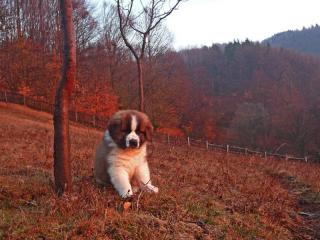 ,Šteniatka s RODOKMEŇOM-PP - Moskovský strážny pes