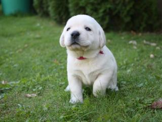 ,Labrador - čierne a žlté šteniatka s PP