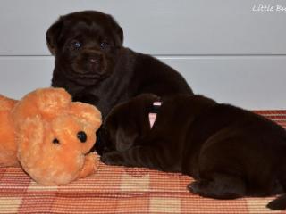 ,Čokoládové šteniatka labradorov s preukazom pôvodu