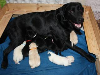 ,Šteniatka Labradora s PP po výborných rodičoch