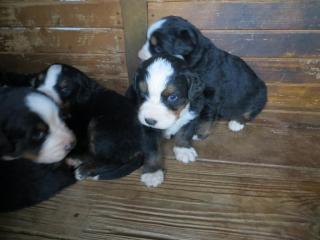 ,Predám šteniatka Bernského salašníckeho psa