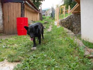 ,pes na krytie nemecky ovčiak cely cierny