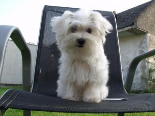 ,Maltézsky psík s PP
