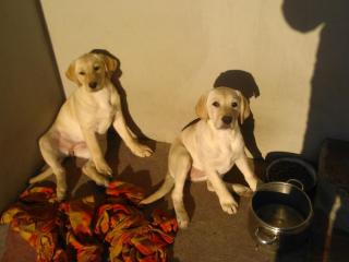 ,Labradory na predaj