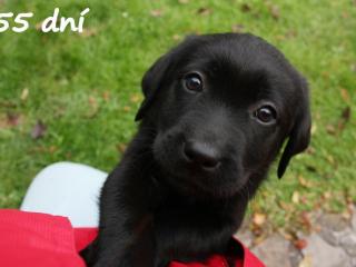 , Labrador- štenniatka s PP po špičkových rodičoch
