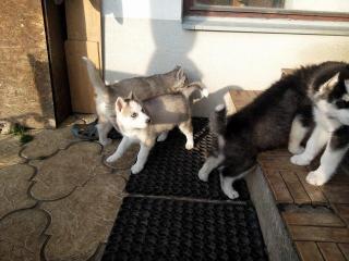 ,predám šteniatka sibirsky husky