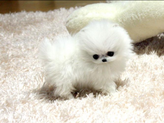 ,Pomeranian šteňatá pre 160 € každý.
