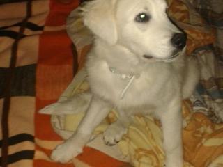 ,Predám psíka - slovenský čuvač