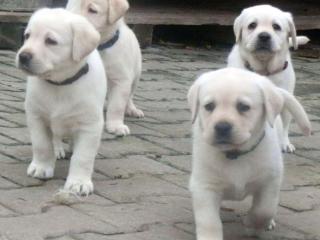 ,šteniatka labradora s PP
