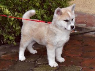 ,Akita -inu šteniatko