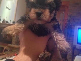 , Yorkshirsky terier - šteniatka - Ponúkam na predaj