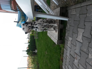 ,dalmatinka na krytie