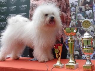 ,Krycí pes Bolonský psík