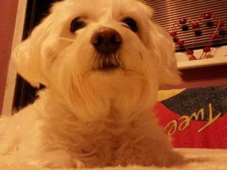 ,Darujem Maltézskeho psíka