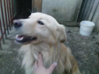 ,Darujem ročneho Labradora