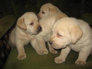 ,Labrador retriever -šteniatka s P.P.