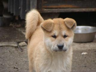 ,Akita Inu