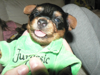 ,Predám krásne šteniatko YORKSHIRSKÝ STREDNÝ TERIER
