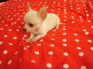 ,Čivava krátkosrstá biela - mini psík TO