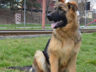 ,Nemecký ovčiak - pes