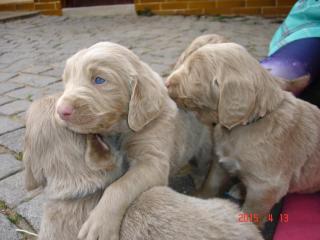 ,Prodáme štěně výmarského ohaře dlouhosrstého