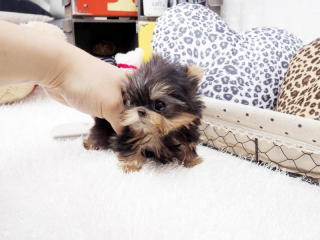 ,  Yorkie šteňa na predaj 200 €