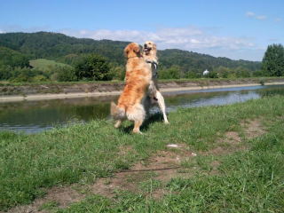,zlatý retriver-šteniatká