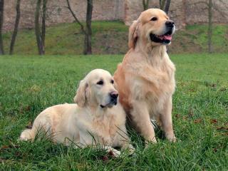 ,zlatý retriever - šteniatka