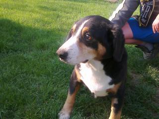 ,Apenzellsky salašnicky pes na krytie