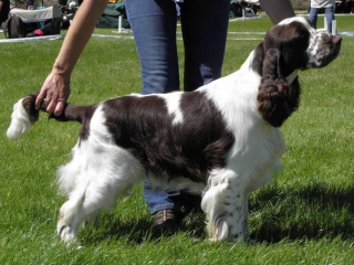 , English springer spaniel - štěňata
