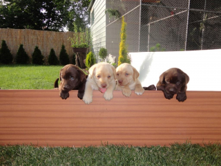 ,Predám čistokrvné šteniatka čokoládového labradora bez PP