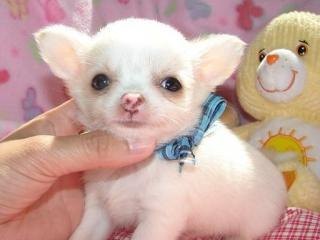,Čivava šteňatá pre teba