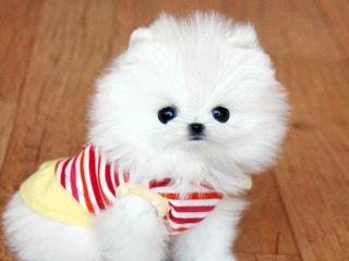 , Pomeranian šteňa na 300 € .