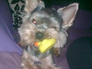 ,yorkshire terrier - krytie